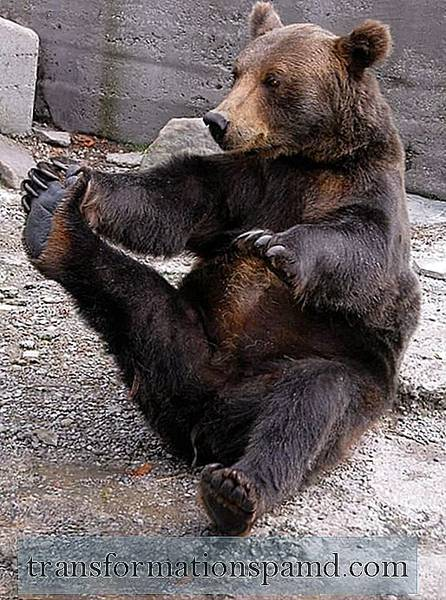 Yoga: Even Bears Do It!